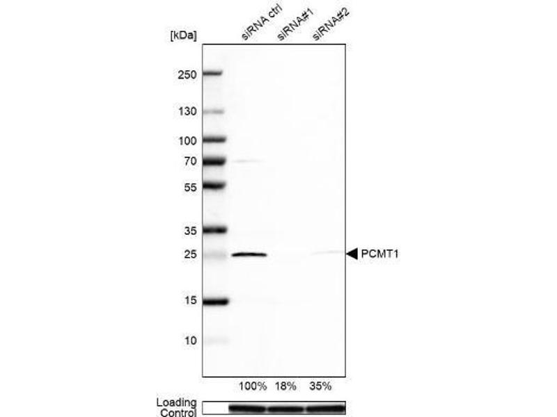 Western Blotting (WB) image for anti-Protein-L-Isoaspartate (D-Aspartate) O-Methyltransferase (PCMT1) antibody (ABIN4344090)