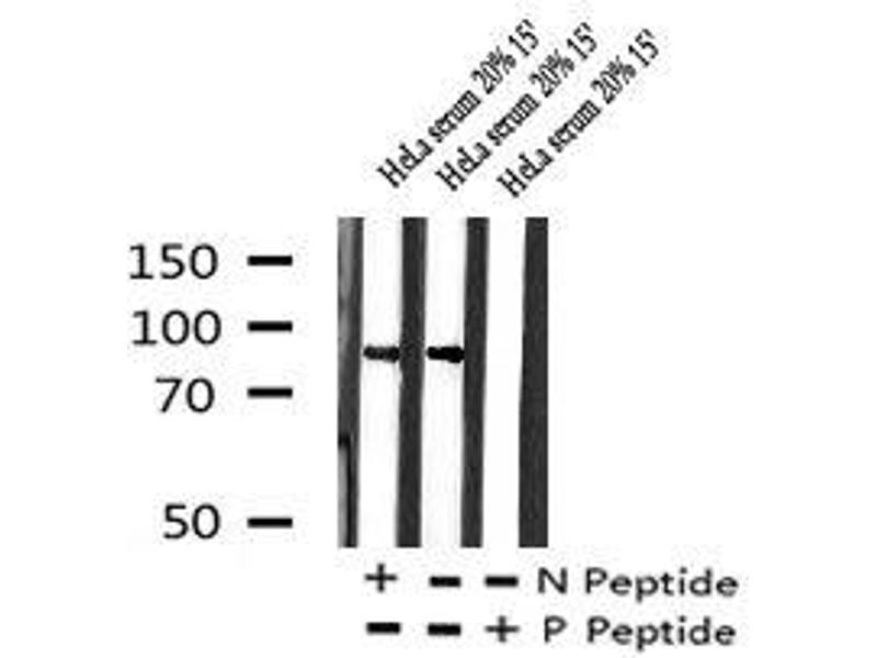 Image no. 1 for anti-Protein tyrosine Phosphatase, Receptor Type, A (PTPRA) (pTyr271) antibody (ABIN6269913)