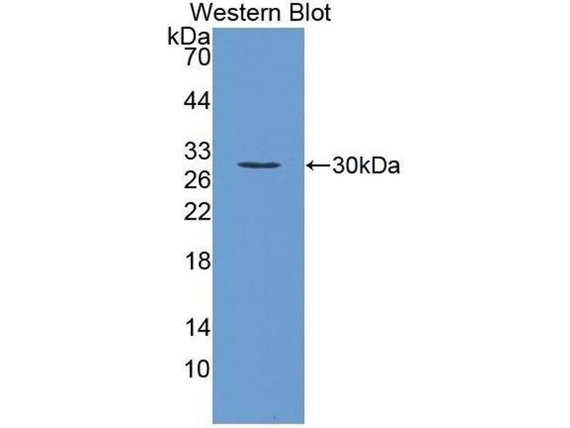 Western Blotting (WB) image for anti-Fibroblast Growth Factor 23 (FGF23) (AA 25-251) antibody (ABIN1858873)