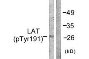Western Blotting (WB) image for anti-Linker For Activation of T Cells (LAT) (AA 191-240), (pTyr191) antibody (ABIN1531336)