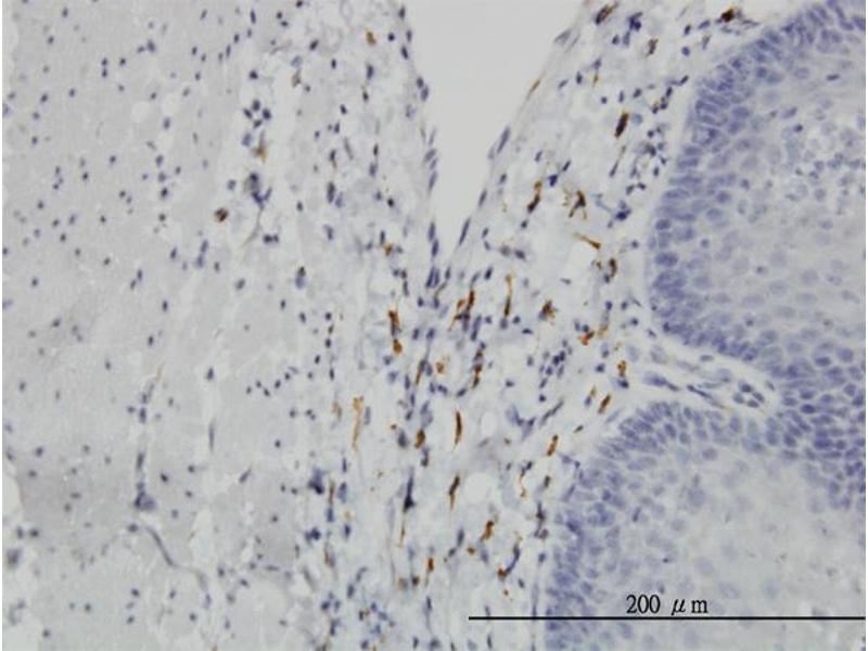 Image no. 1 for anti-Leucine Proline-Enriched Proteoglycan (Leprecan) 1 (LEPRE1) (AA 1-100) antibody (ABIN566242)