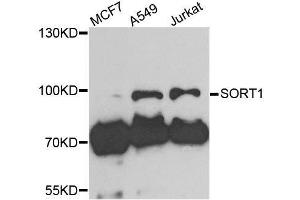 Image no. 3 for anti-Sortilin 1 (SORT1) antibody (ABIN6223923)