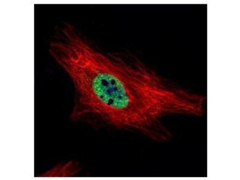 Immunofluorescence (IF) image for anti-Protein Inhibitor of Activated STAT, 4 (PIAS4) (C-Term) antibody (ABIN441248)