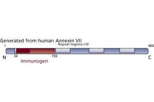 image for anti-Annexin VII antibody (Annexin A7) (AA 34-159) (ABIN968100)