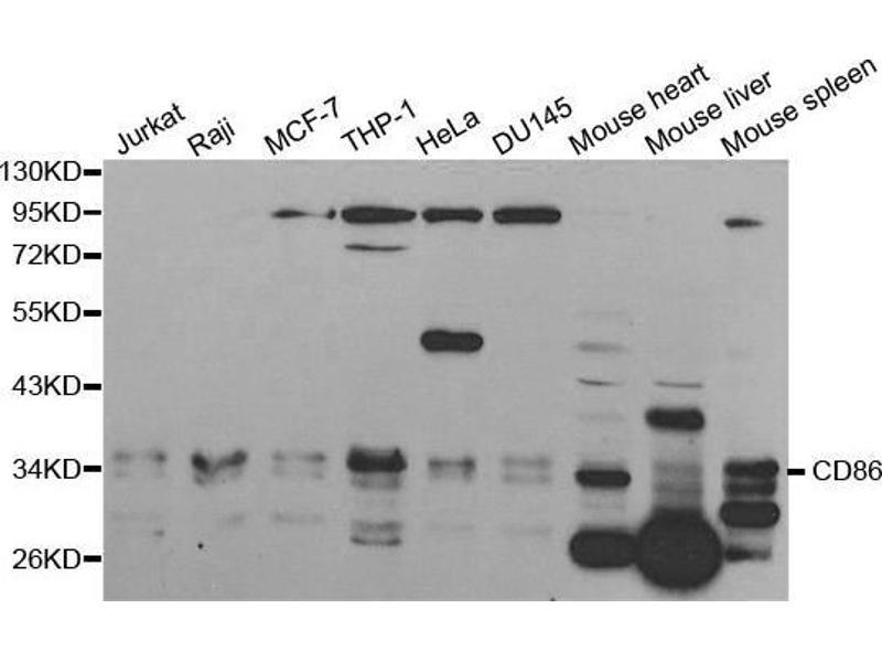 Western Blotting (WB) image for anti-CD86 Molecule (CD86) antibody (ABIN3021701)