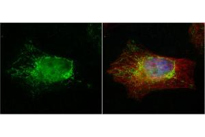 Image no. 1 for anti-Phosphotriesterase Related (PTER) (Center) antibody (ABIN2855499)