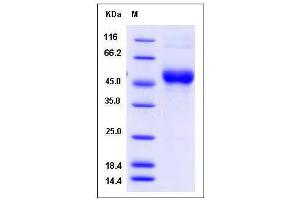 Image no. 1 for CD63 (CD63) (AA 108-204) protein (Fc Tag) (ABIN2005842)