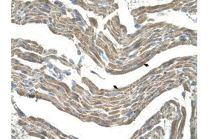 Image no. 1 for anti-Asporin (ASPN) (Middle Region) antibody (ABIN630167)