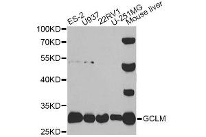 Image no. 1 for anti-Glutamate-Cysteine Ligase, Modifier Subunit (GCLM) antibody (ABIN6141021)