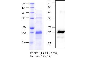 Image no. 2 for Programmed Cell Death 1 (PDCD1) (AA 21-169) protein (His tag) (ABIN3121372)