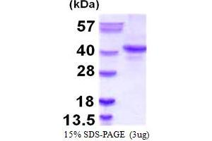 Image no. 1 for Nanog Homeobox (NANOG) (AA 1-305) protein (ABIN667504)