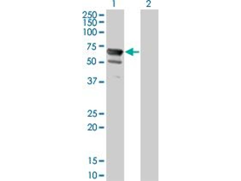 Image no. 2 for anti-5'-Nucleotidase, Cytosolic II (NT5C2) (AA 1-561) antibody (ABIN524900)