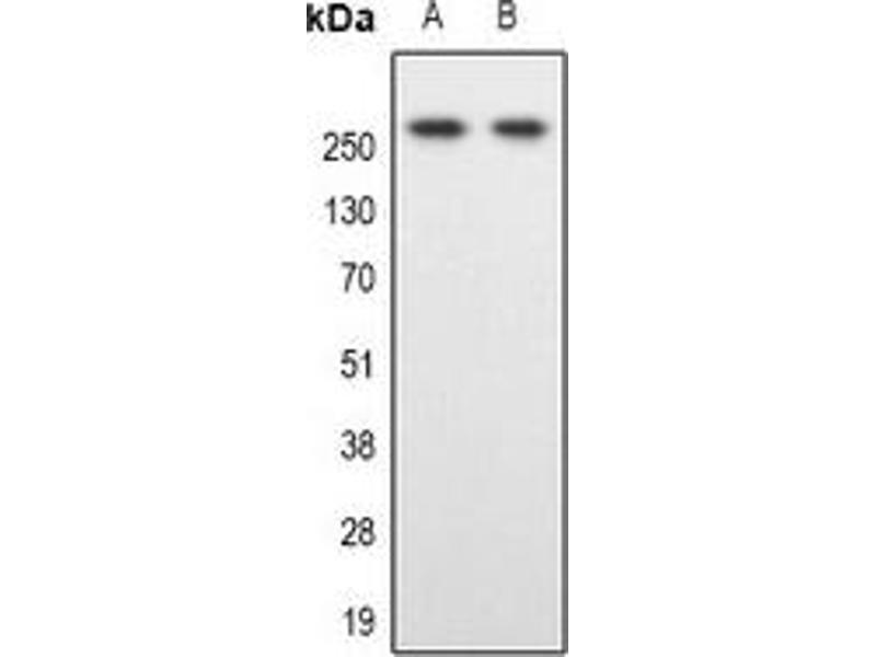 Western Blotting (WB) image for anti-Spectrin Beta, Non-Erythrocytic 1 (SPTBN1) antibody (ABIN2801338)