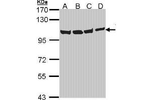 Image no. 6 for anti-Valosin Containing Protein (VCP) (N-Term) antibody (ABIN2856882)