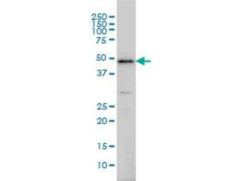 Image no. 6 for anti-Interferon Regulatory Factor 2 (IRF2) (AA 216-315) antibody (ABIN561522)