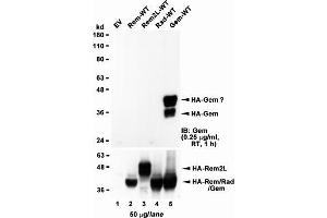 Image no. 1 for anti-GTP Binding Protein Overexpressed in Skeletal Muscle (GEM) (AA 34-46) antibody (ABIN5539528)