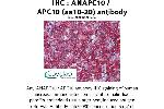 Image no. 1 for anti-Anaphase Promoting Complex Subunit 10 (ANAPC10) (AA 10-20) antibody (ABIN1731757)