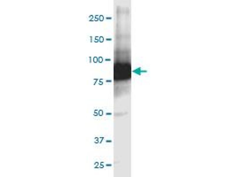 Image no. 6 for anti-Glutamate-Cysteine Ligase, Catalytic Subunit (GCLC) (AA 528-637) antibody (ABIN561050)
