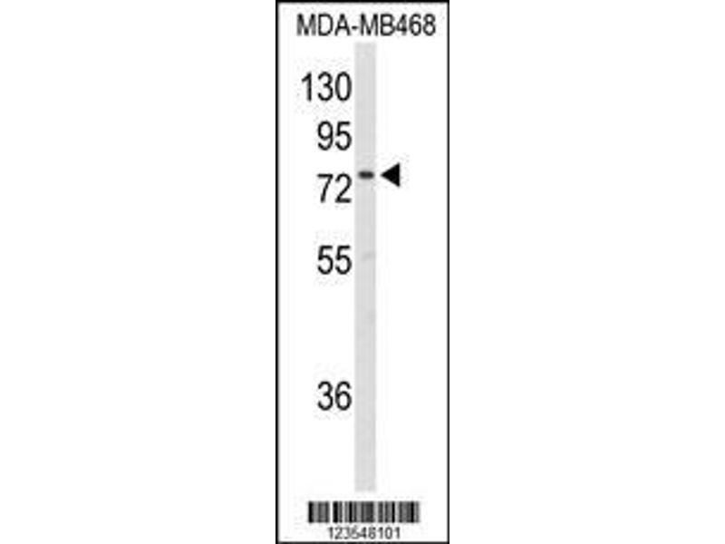 Western Blotting (WB) image for anti-EXT2 (AA 182-209), (Center) antibody (ABIN653350)
