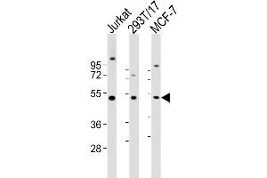 Image no. 1 for anti-Vaccinia Related Kinase 1 (VRK1) (AA 366-396) antibody (ABIN5532358)