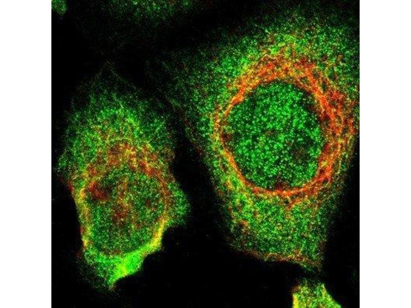 Immunofluorescence (IF) image for anti-Sperm Associated Antigen 5 (SPAG5) antibody (ABIN4281930)