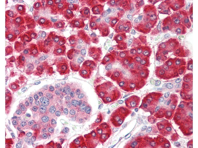 Image no. 2 for anti-SHQ1 Homolog (S. Cerevisiae) (SHQ1) (N-Term) antibody (ABIN1804217)