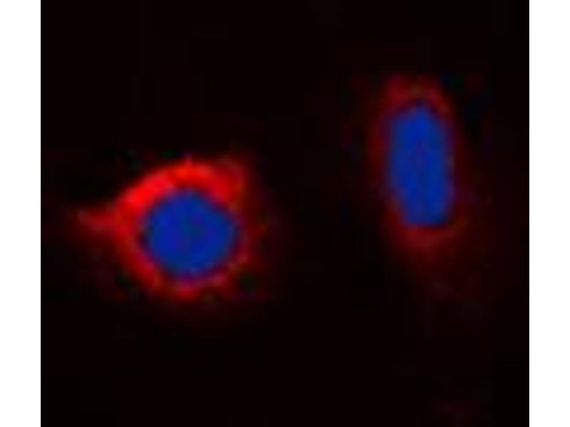 Immunofluorescence (IF) image for anti-Calnexin (CANX) (C-Term), (pSer583) antibody (ABIN2704566)