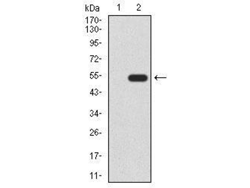 Western Blotting (WB) image for anti-Wingless-Type MMTV Integration Site Family, Member 3A (WNT3A) (AA 170-352) antibody (ABIN4881142)