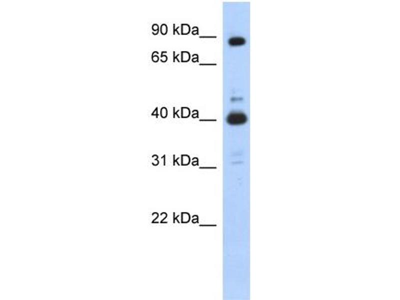Western Blotting (WB) image for anti-CDK9 antibody (Cyclin-Dependent Kinase 9) (N-Term) (ABIN504585)