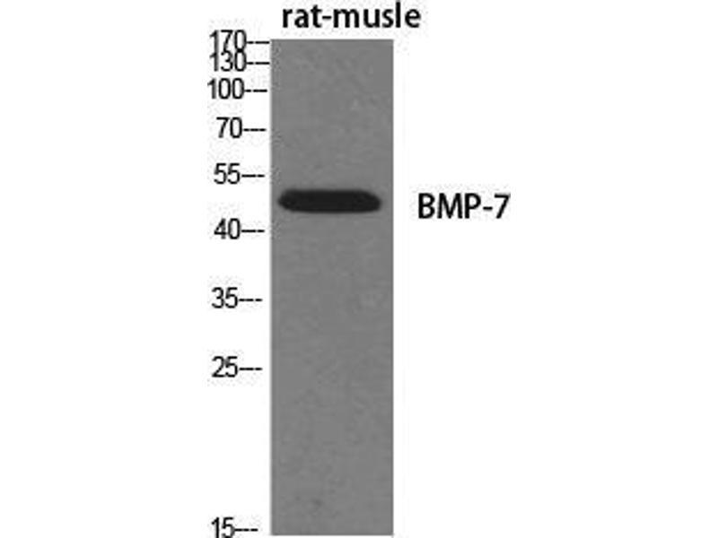 Western Blotting (WB) image for anti-Bone Morphogenetic Protein 7 (BMP7) (Internal Region) antibody (ABIN3183530)