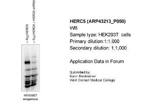 Image no. 1 for anti-Hect Domain and RLD 5 (HERC5) (Middle Region) antibody (ABIN2774739)