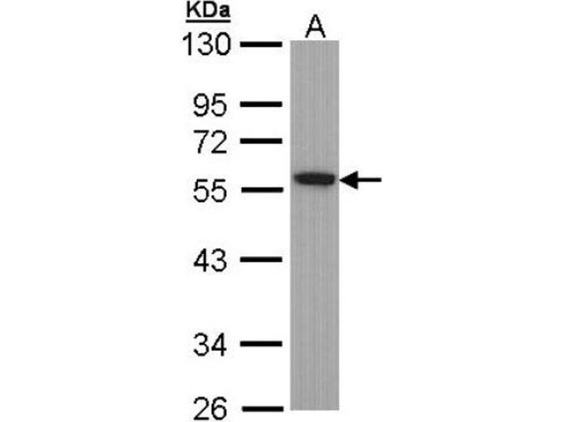 Western Blotting (WB) image for anti-Tubulin, alpha 1B (TUBA1B) (Center) antibody (ABIN442906)