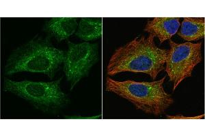 Immunofluorescence (IF) image for anti-Phosphogluconate Dehydrogenase (PGD) (Center) antibody (ABIN2855133)
