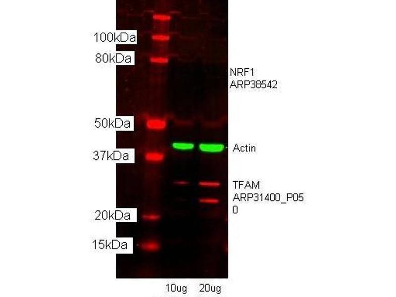 Western Blotting (WB) image for anti-Transcription Factor A, Mitochondrial (TFAM) (N-Term) antibody (ABIN2777277)