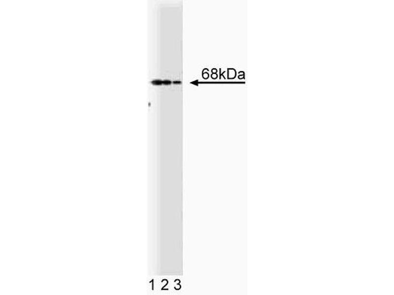 Western Blotting (WB) image for anti-PTPN6 antibody (Protein-tyrosine Phosphatase 1C) (AA 492-597) (ABIN967766)