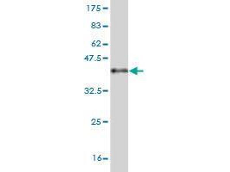 Western Blotting (WB) image for anti-Pleiotrophin (PTN) (AA 45-155) antibody (ABIN394508)