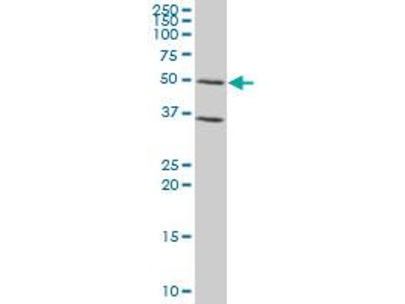 Western Blotting (WB) image for anti-GATA Binding Protein 3 (GATA3) (AA 103-200), (partial) antibody (ABIN515951)