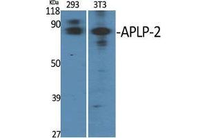 Image no. 2 for anti-Amyloid beta (A4) Precursor-Like Protein 2 (APLP2) (Internal Region) antibody (ABIN3183319)