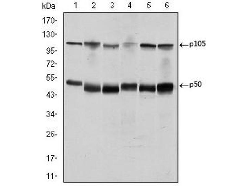 Western Blotting (WB) image for anti-Nuclear Factor of kappa Light Polypeptide Gene Enhancer in B-Cells 1 (NFKB1) antibody (ABIN1108443)