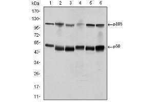 Image no. 2 for anti-Nuclear Factor of kappa Light Polypeptide Gene Enhancer in B-Cells 1 (NFKB1) antibody (ABIN1108443)