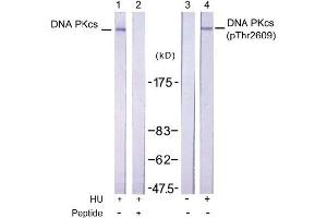 image for anti-PRKDC antibody (Protein Kinase, DNA-Activated, Catalytic Polypeptide) (pThr2609) (ABIN196899)