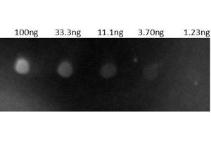 Image no. 1 for Goat anti-Human IgG (Heavy & Light Chain) antibody (TRITC) - Preadsorbed (ABIN101519)