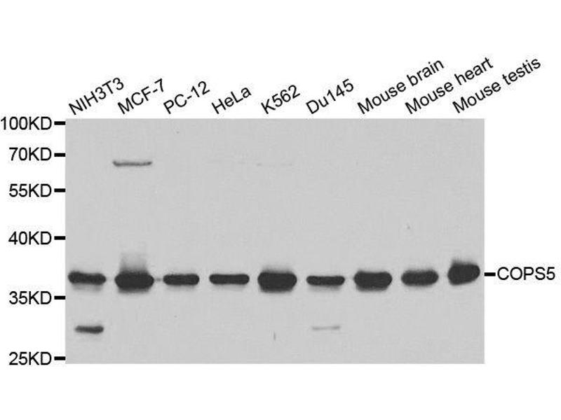 Western Blotting (WB) image for anti-COP9 Constitutive Photomorphogenic Homolog Subunit 5 (Arabidopsis) (COPS5) (pSer5) antibody (ABIN3022512)
