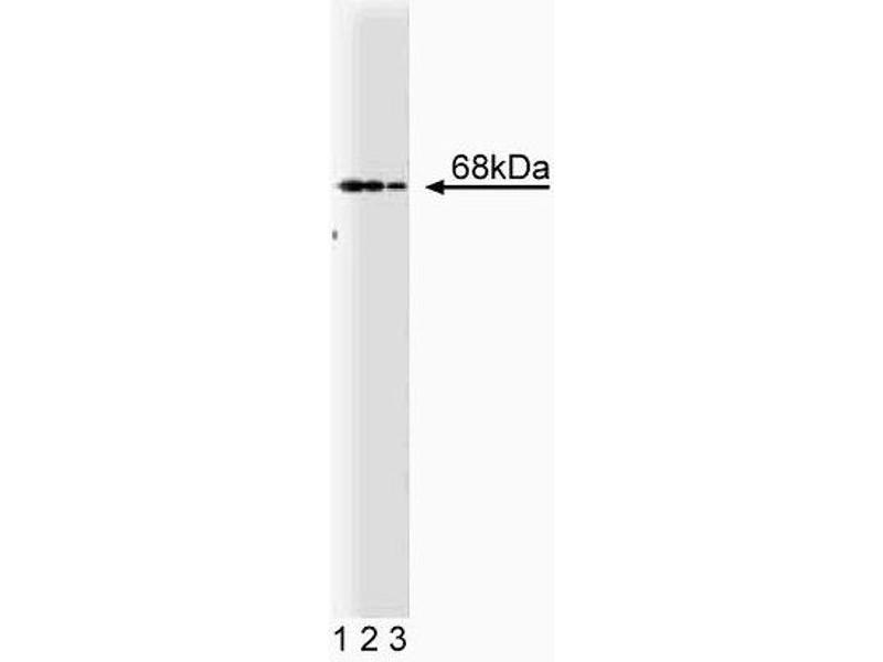 Western Blotting (WB) image for anti-PTPN6 antibody (Protein-tyrosine Phosphatase 1C) (AA 492-597) (ABIN967767)