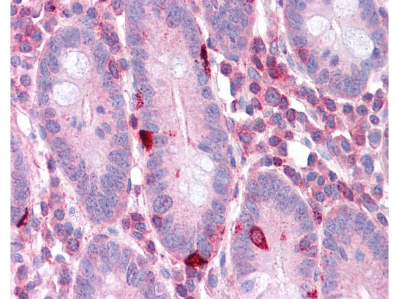 Immunohistochemistry (IHC) image for anti-EEF2 antibody (Eukaryotic Translation Elongation Factor 2) (N-Term) (ABIN504471)