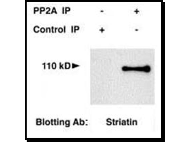 Western Blotting (WB) image for anti-Striatin antibody (STRN) (AA 350-400) (ABIN259102)