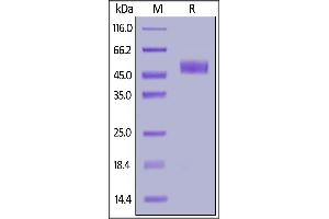 Image no. 2 for Inducible T-Cell Co-Stimulator (ICOS) (AA 21-144) (Active) protein (Fc Tag) (ABIN6938860)