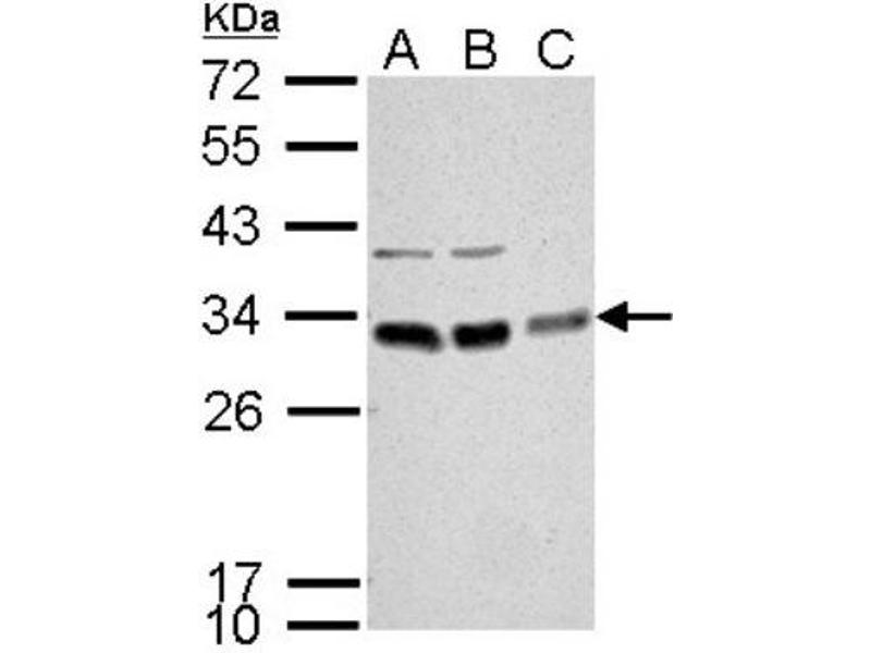 Western Blotting (WB) image for anti-BCL10 antibody (B-Cell CLL/lymphoma 10) (Center) (ABIN4283298)