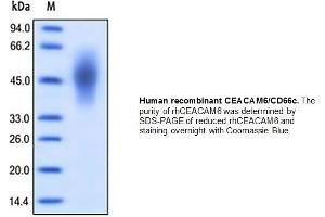 Image no. 1 for Carcinoembryonic Antigen-Related Cell Adhesion Molecule 6 (Non-Specific Cross Reacting Antigen) (CEACAM6) (Active) protein (His tag) (ABIN2506931)