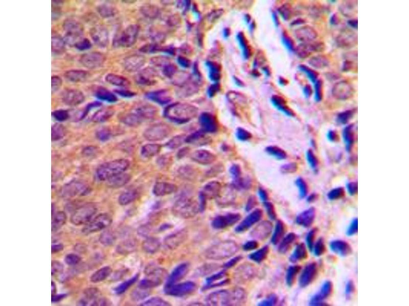 Image no. 1 for anti-Aryl Hydrocarbon Receptor (AHR) (N-Term), (pSer36) antibody (ABIN2707313)